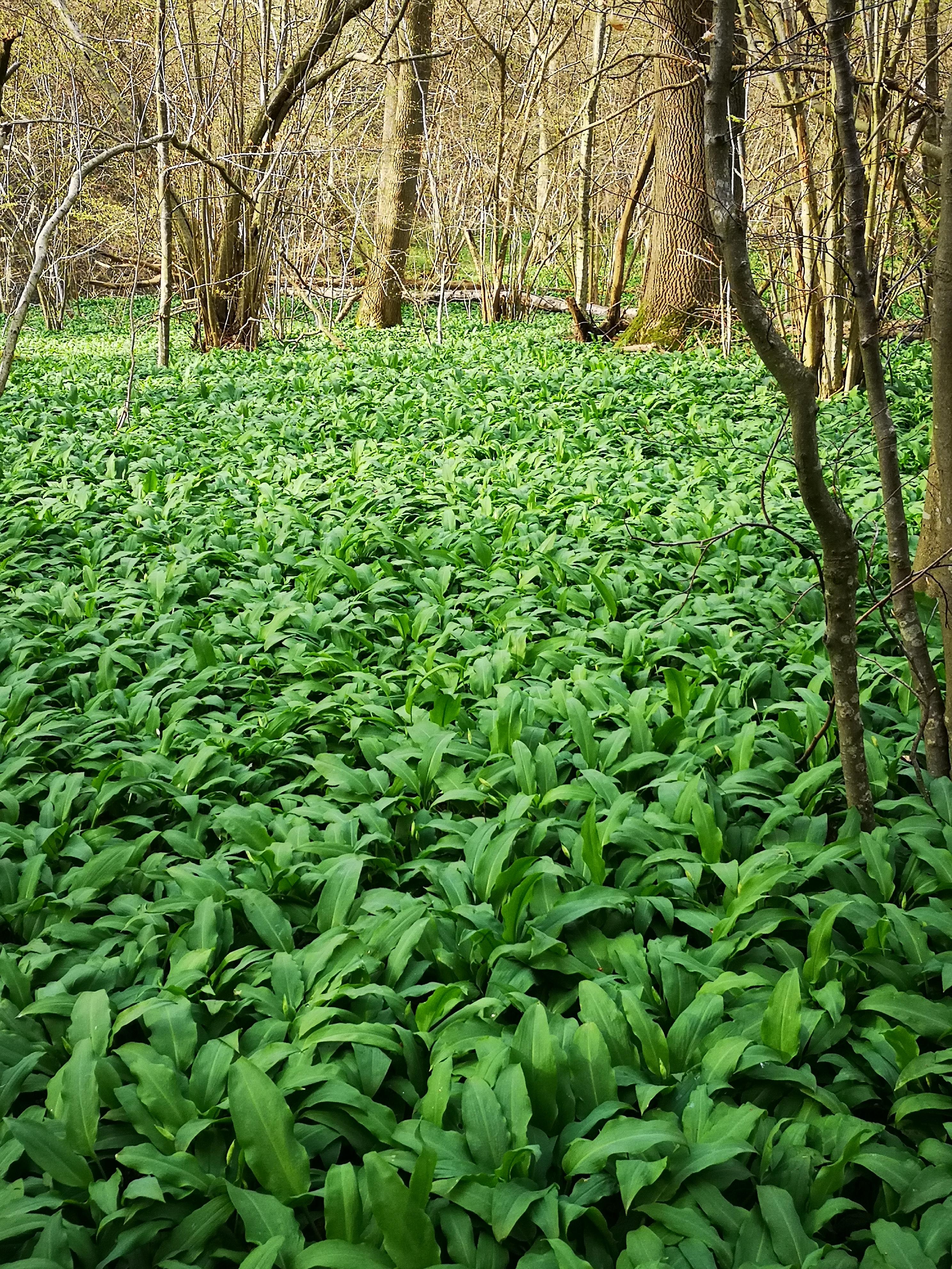 Ramsløgen springer udi løbet af foråret. Det skabe et visuelt smukt landskab og giver en fantastisk duft når man bevæger sig i naturen.